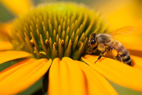 Bee and Coneflower 3
