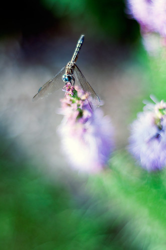 193/366 - Dragonfly by aithom2
