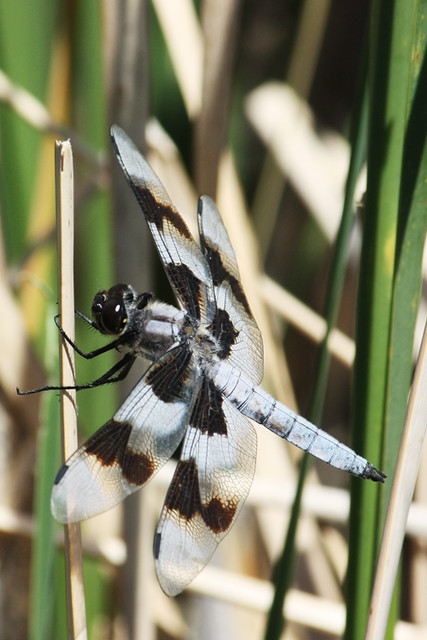 Eight-spotted Skimmer (Libellula forensis), male