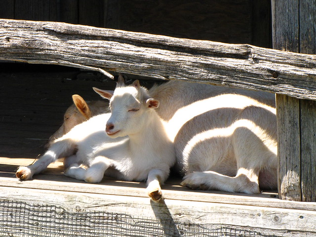 Lazy Goats