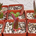 Mitrophyllum dissitum