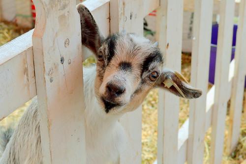 goat at the Fonda Fair