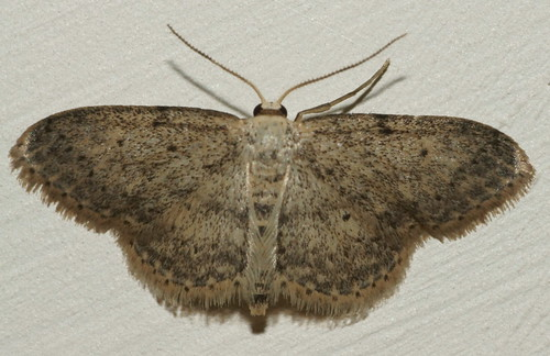 Small dusty wave (Idaea seriata)?