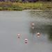 Greater Flamingos of Isla Isabela