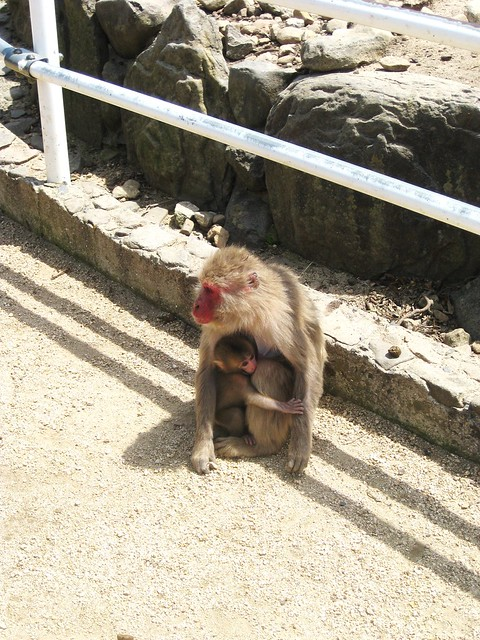 wild japanese monkeys on shodoshima island.