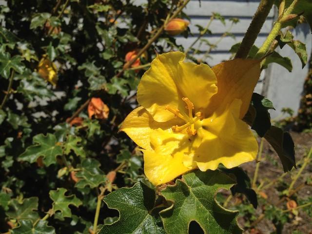 Yellow flannelbush flower (Fremontodendron californicum, Malvaceae)
