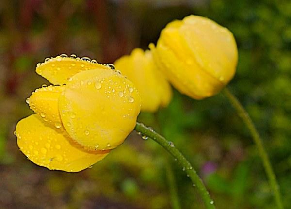 Tulipe jaune sous la pluie