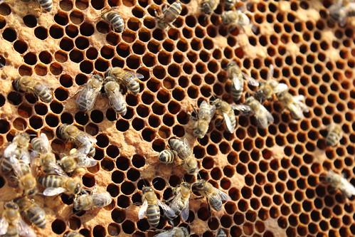 Bees etc 047