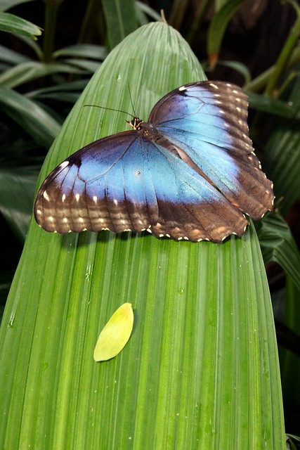 Blue WInged Beauty