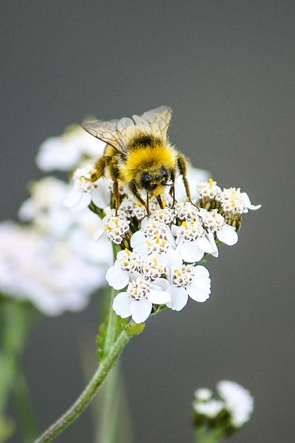 Bumblebee (Bombus sp.)