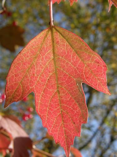 Guelder Rose leaf