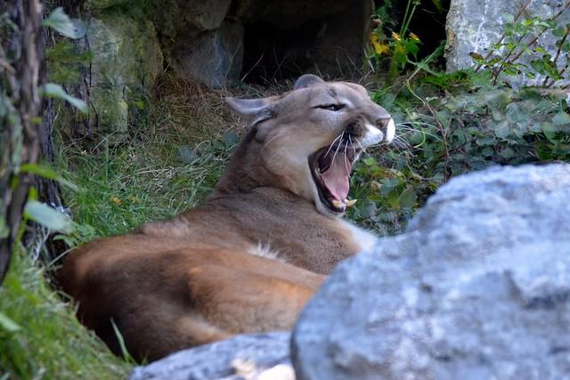 Cougar Yawn!
