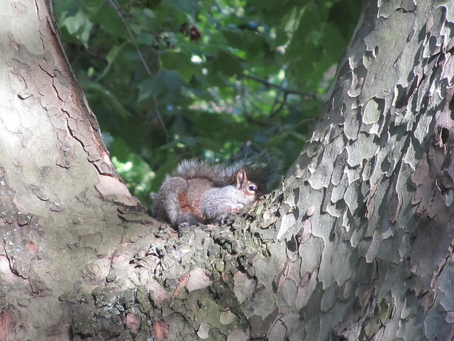 Squirrel hiding in a tree, St James's Park