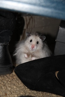 Hamster hiding under the bed.