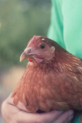 chickenherding-24