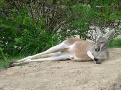 Lounging kangaroo