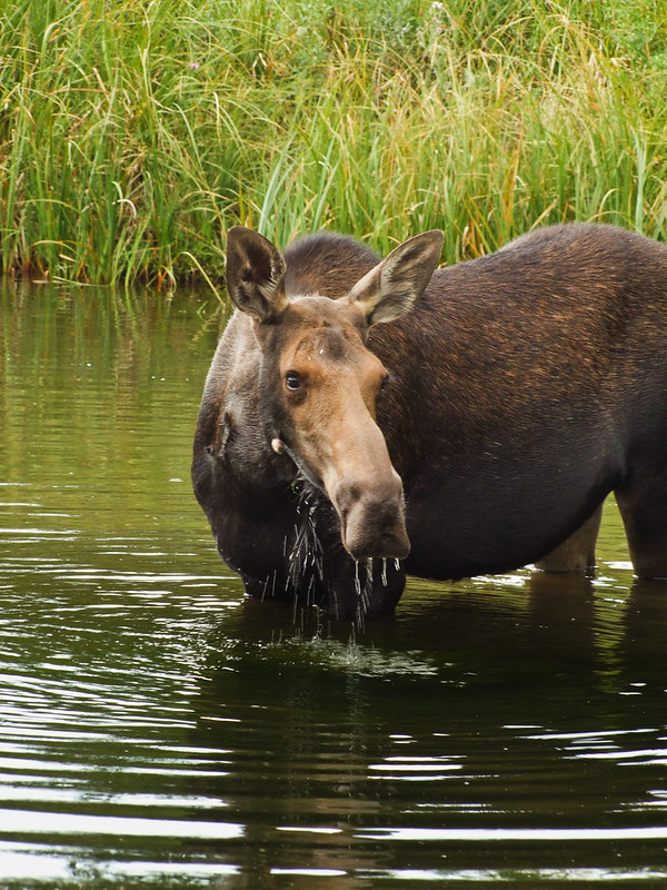 A cow moose feeding on wet meadows, Grand Teton National Park