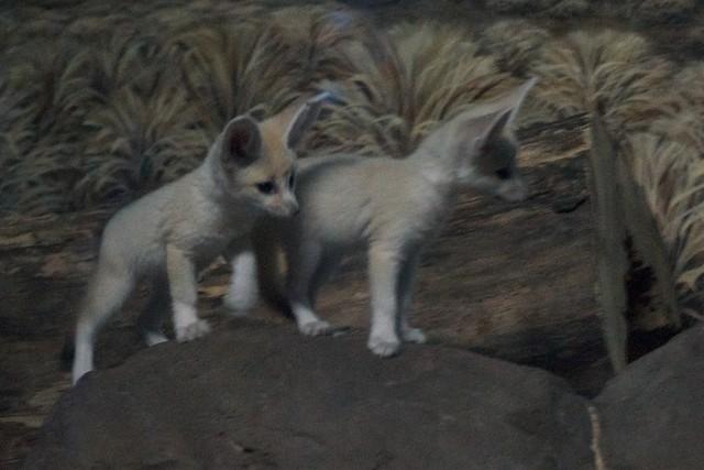 Two Fennec Fox Babie