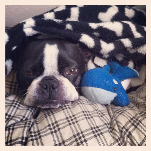 Iggy & new whale toy settle in for a nap.