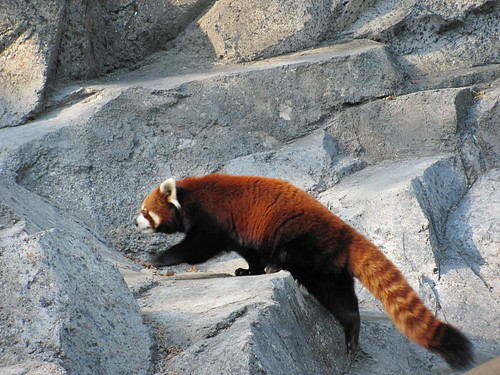 red panda - mom