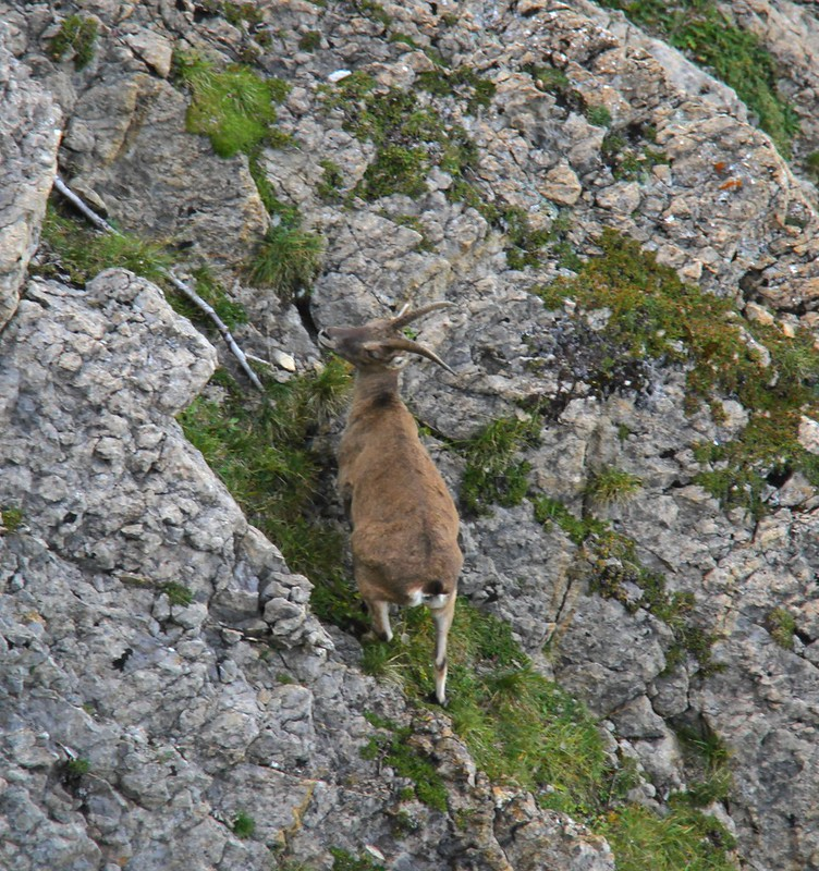 Chamois in Mount Pilatus