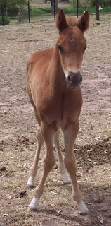 A foal with an angular limb deformity: carpus valgus, where the horse is knock kneed with toes pointed outwards.