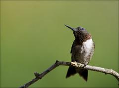 Male ruby-throated hummingbird 52