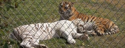 begal tigers (1280x498)