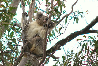 Koala @ Yanchep National Park by simmogem, on Flickr