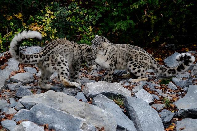 Snow Leopard Secrets