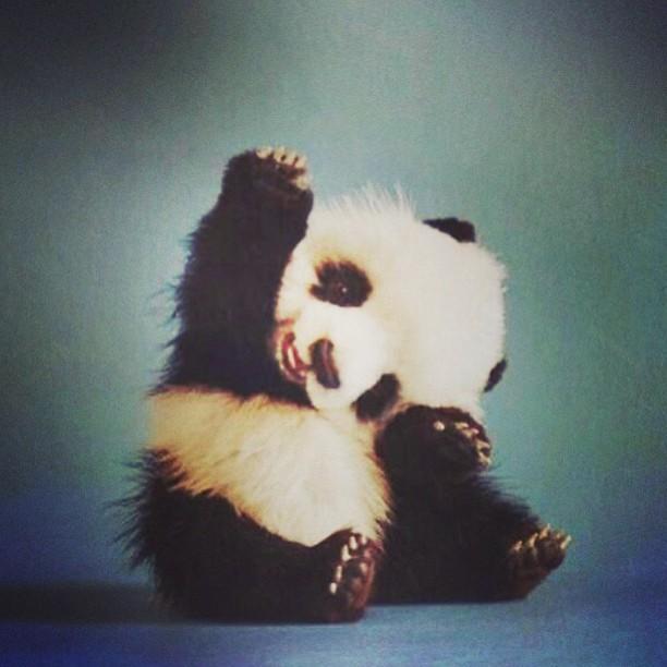 Animal Wallpaper Too Cute Panda Baby Animal Fluffy Furry Small Wave