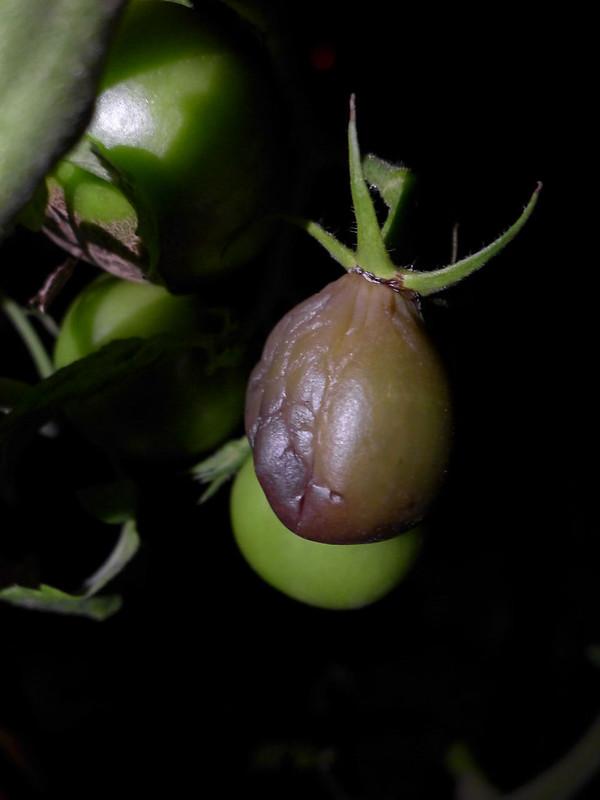 求助 番茄疫病 - 花花世界 - 生活花卉園藝論壇