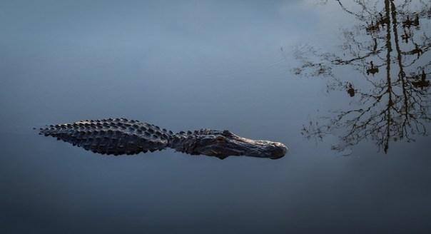 Very still gator and tree reflection
