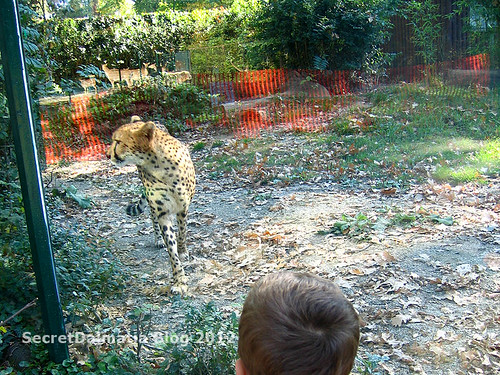Cheetah behind glass