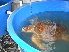 Sea Turtle Hospital at Topsail Beach