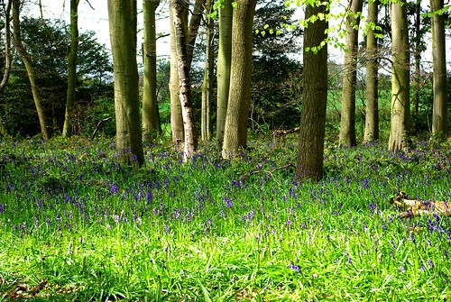 20120421-01_Bluebells in Cawston Woods - Rugby by gary.hadden