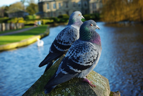 20120102-20_Coombe Abbey_Pigeons_Wink-Blink-or just Nodding off by gary.hadden
