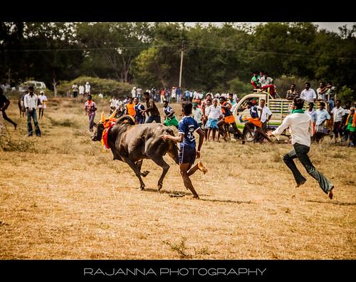 Manju Virattu in Siravayal, Karaikudi, Tamilnadu - 4 by Rajanna @ Rajanna Photography