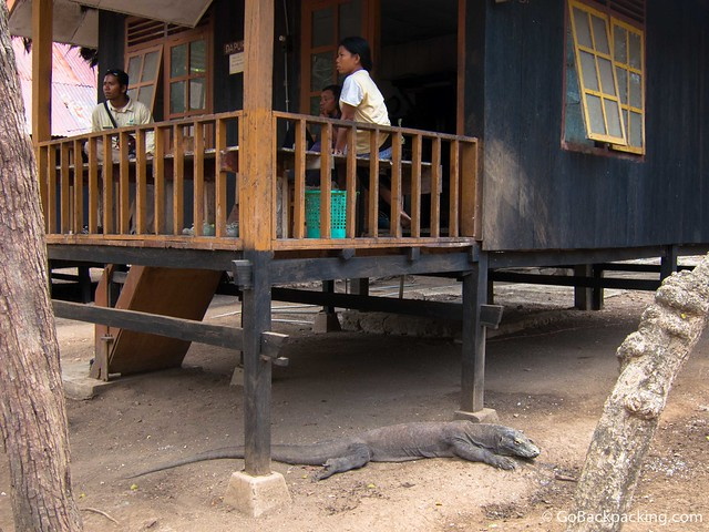 A Komodo Dragon lies patiently under a kitchen porch for handouts which will never be given