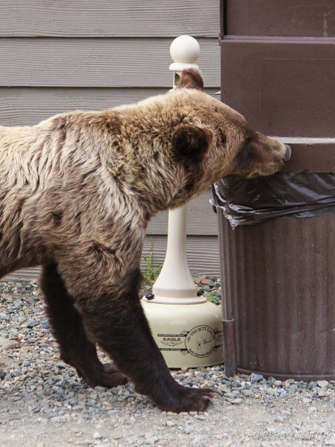 Young Grizzly looking for garbage