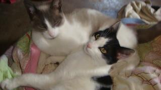 domestic cats, black and white, simese