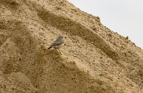 Desert Wheatear on makeshift desert