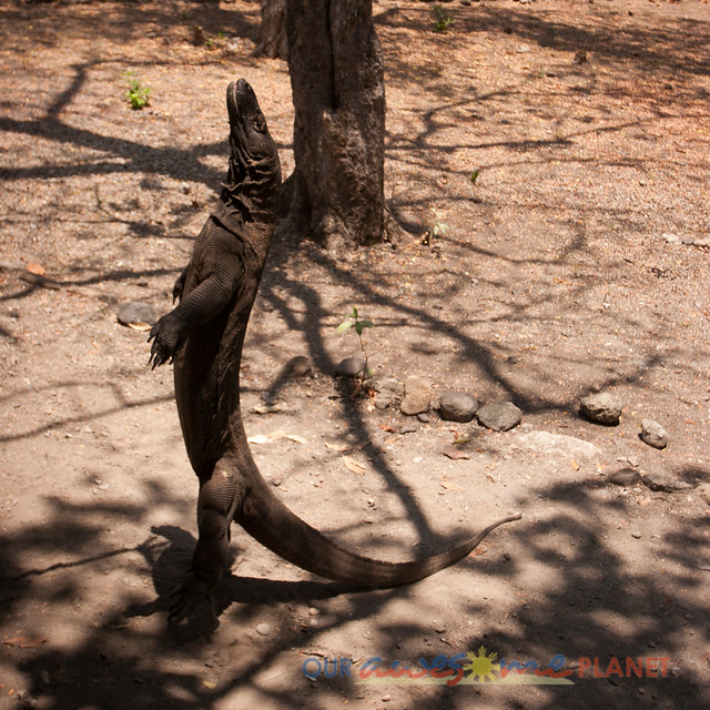 Komodo Dragon National Park-69.jpg