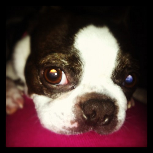 Little piggy curled up on my belly <3 #aiko #bostonterrier