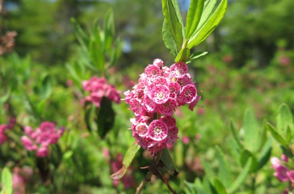 Bald Mountain Maine Summit Flowers