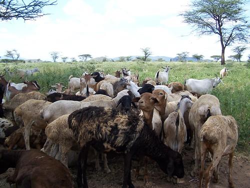 Samburu livestock