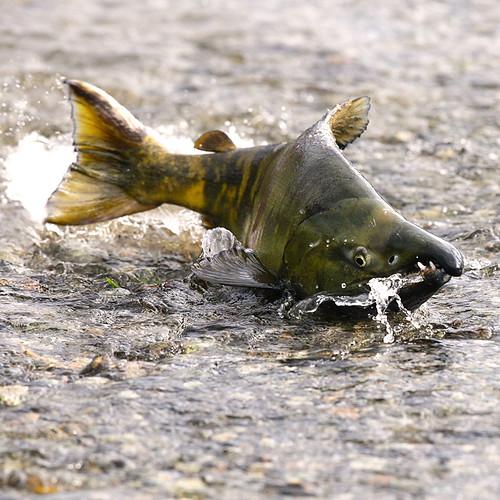 Salmon migration by elaiphoto