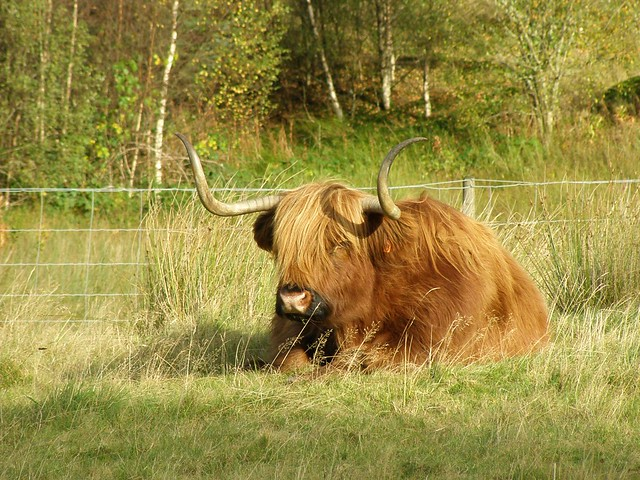 Scotland Hairy Cow