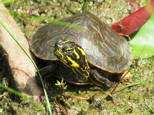 Baby Turtle (BT) Looking Good by Rosa Blue