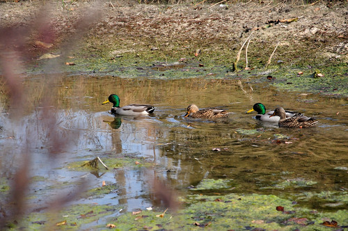Mallard Family at Ojibway by photographerpainterprintmaker